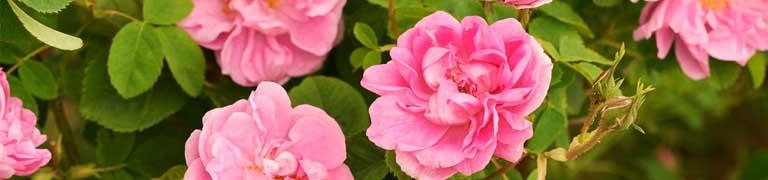 مجموعة الورد